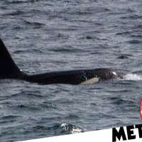 image: Killer whales spotted sw…